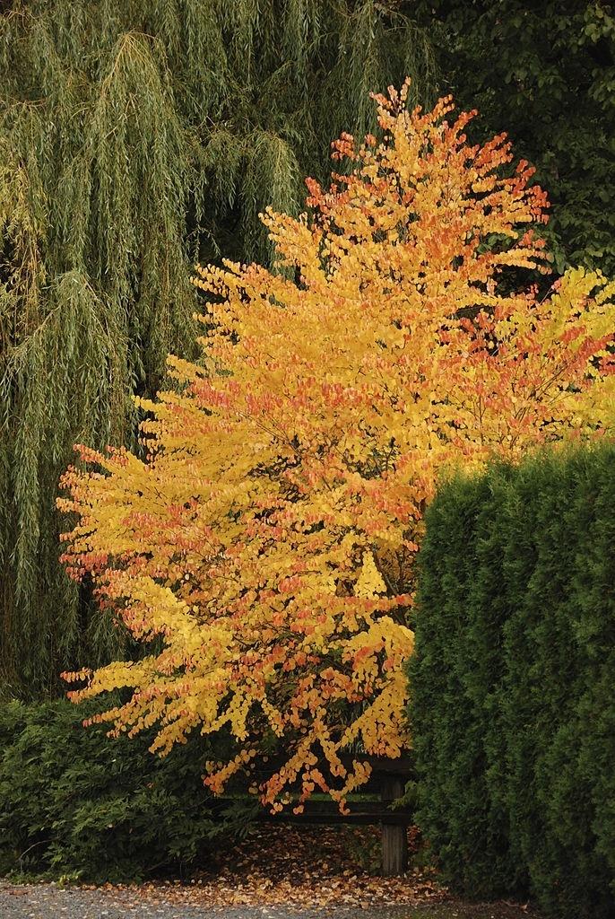 Katsura Tree Plant Profile