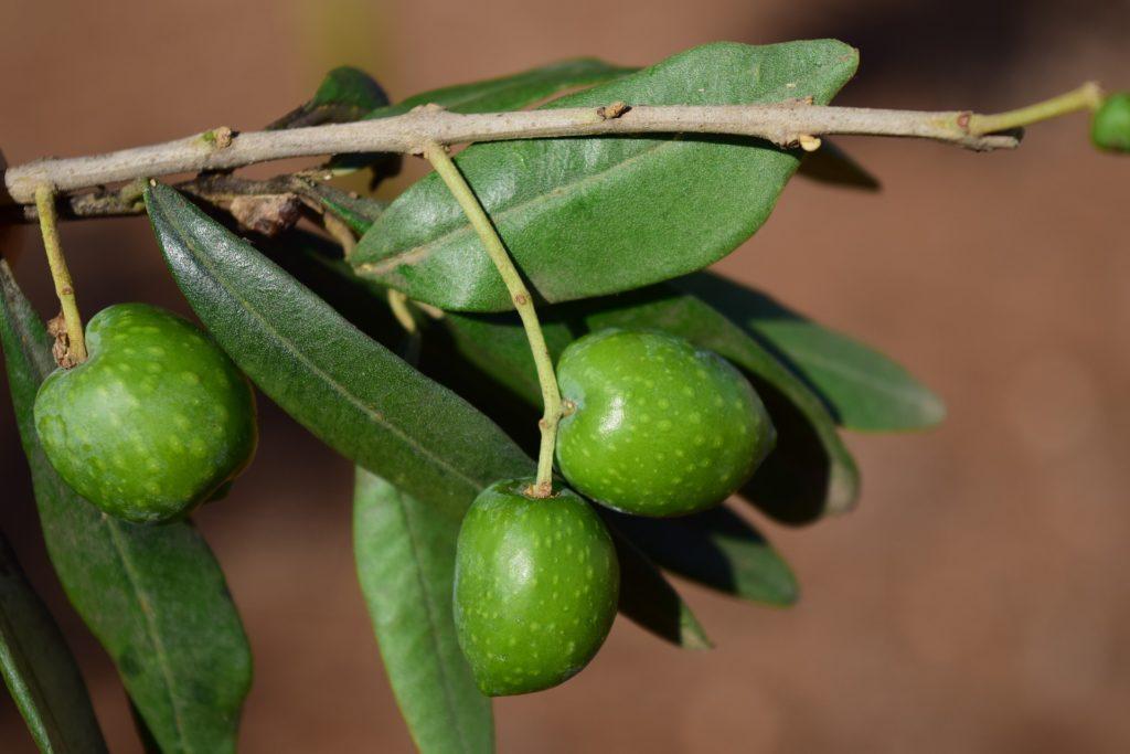 Olive tree branch Olives