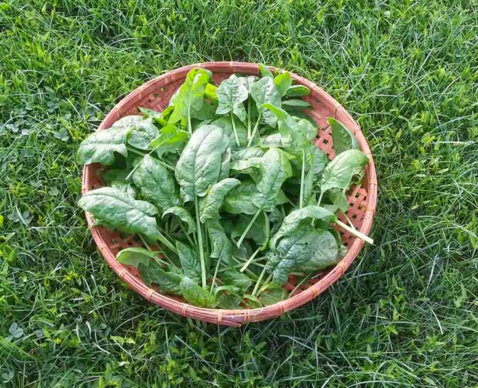 When And How To Harvest Spinach?